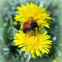 Сладкий нектар для шмелика :: Андрей Заломленков