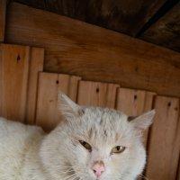 Белый, наглый кот :: Света Кондрашова