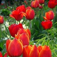 Киевские тюльпаны Фото №3 :: Владимир Бровко