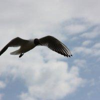 Чайка :: Юрий Shen
