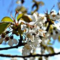 cerise en fleurs ..... :: Nika Lipatova