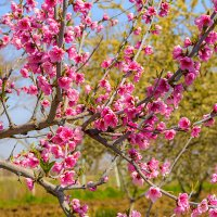Персиковое дерево :: Елена Васильева