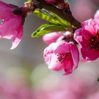 Цветет персик :: Анжелина Пилихосова