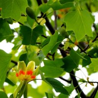 Тюльпанное дерево :: Светлана