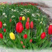 Тюльпаны и нарциссы. :: Чария Зоя