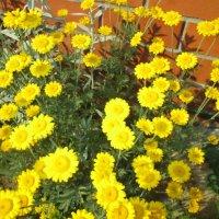 Желтые ромашки-солнышка веснушки. :: Valentina