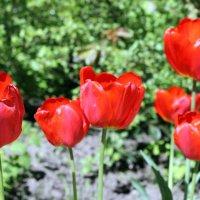 Красные тюльпаны - шёлковые чаши,по весне лазурной нет нежней и краше . (Александр Винокуров) . :: Валентина ツ ღ✿ღ