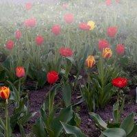 Тюльпаны в тумане :: Владимир Кроливец