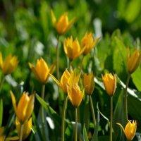 Жёлтые весенние цветы.. :: Юрий Анипов