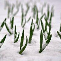 весеннее блюдо - снег с чесноком :: Сергей Розанов