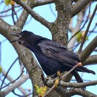 Ворона каркнула........... :: Paparazzi