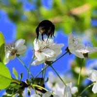 Красавец шмель, спеши в мой сад, пока есть белый здесь наряд! :: Валентина ツ ღ✿ღ