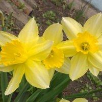 Вот и у нас весна с жёлтыми нарциссами у дома :: Владимир Ростовский