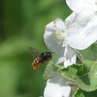 Дикая пчела в полёте :: Balakhnina Irina