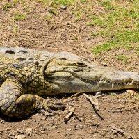 Желтый крокодил :: Александр Деревяшкин