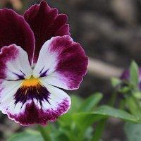 Цветок :: shabof