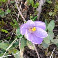 Первый весенний цветок :: Мила