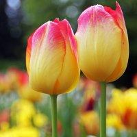Желтые тюльпаны .. :: Alexander Andronik
