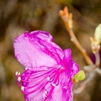 Багульниу цветет :: Сергей Казаченко