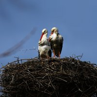 пара :: linnud