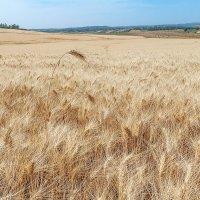 Пшеница в поле. Апрель. :: Lidiya Dmitrieva
