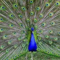 Красивая птица со своим пышным опереньем :: galina tihonova