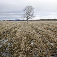 Одинокое дерево. :: Олег Казаков