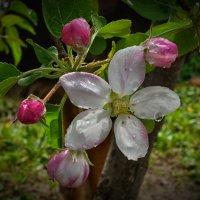 Цветущая яблоня :: Marina Timoveewa