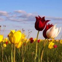 Степные тюльпаны :: Игорь Александрович Оренбург
