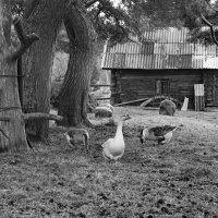 Жили у бабуси, три весёлых гуся. :: Ирина Нафаня