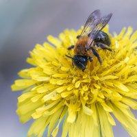 Пчела и одуванчик :: Игорь Сарапулов