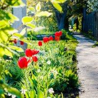 Тюльпаны в апреле :: Сергей Малый