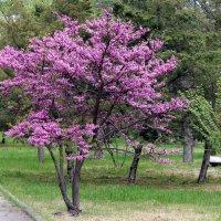 Иудино дерево :: elena manas