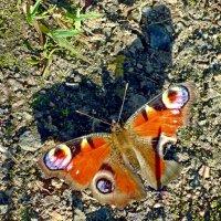 Бабочка и её тень :: Вера Щукина