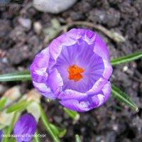 Весенние первоцветы крокус :: Тамара Буйлова