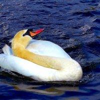 """Лебедь: """"Смотри, как я могу!"""" :) :: Nina Yudicheva"""