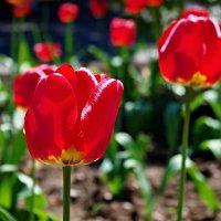 тюльпаны :: юрий иванов