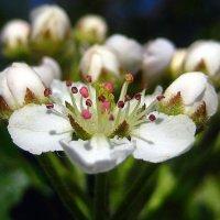 Весенний цветок. :: оля san-alondra