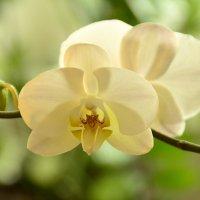 Орхидея :: Алексей Могилёв