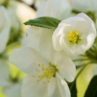 Яблони в цвету :: Мария