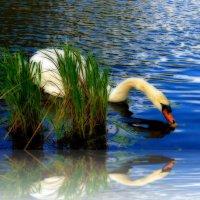 Белый лебедь и его отражение :: Nina Yudicheva