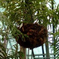 Пальма с оленьем рогом. (Ботанический сад) :: Светлана Калмыкова