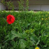 Мои первые тюльпаны и одуванчики у дома :: Андрей Лукьянов
