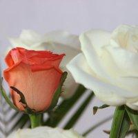 Розы :: андрей шилов