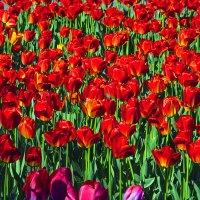 Тюльпаны(2) :: Сергей Фомичев