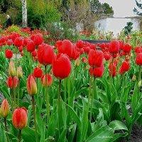 Любуясь красотой тюльпанов :: Nina Yudicheva