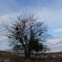 Яблоня, заселённая омелой :: Balakhnina Irina