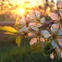 цветение сливы :: Владимир