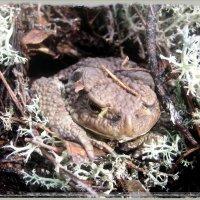 жаба лесная :: Наталья Зимирева