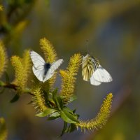 Бабочки :: Илья Костин